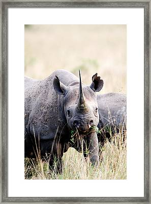 Black Rhinoceros Diceros Bicornis Framed Print by Panoramic Images