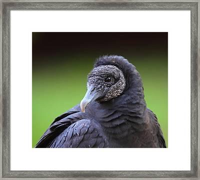 Black Vulture Portrait Framed Print by Bruce J Robinson