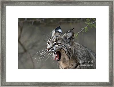 Bobcat Framed Print by Mark Newman