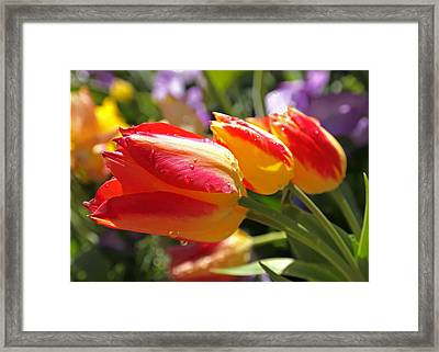 Bowing Tulips Framed Print by Rona Black