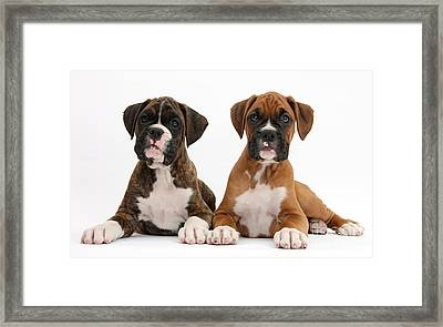 Boxer Puppies Framed Print by Mark Taylor
