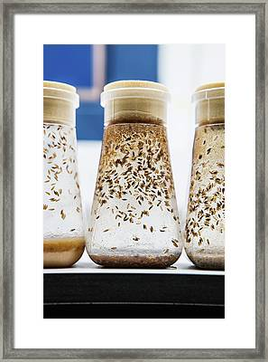 Breeding Fruit Flies For Research Framed Print by Gustoimages