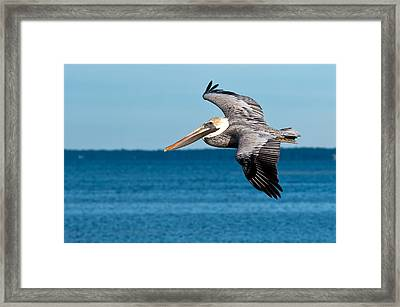 Brown Pelican Framed Print by Rich Leighton