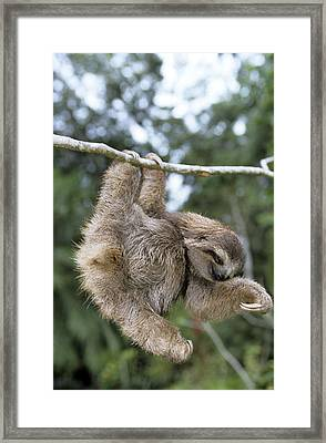 Brown-throated Three-toed Sloth Framed Print by M. Watson