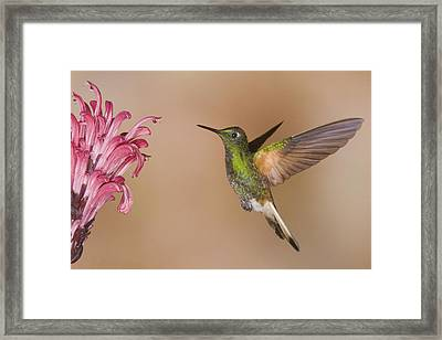 Buff-tailed Coronet Hummingbird Feeding Framed Print by Steve Gettle