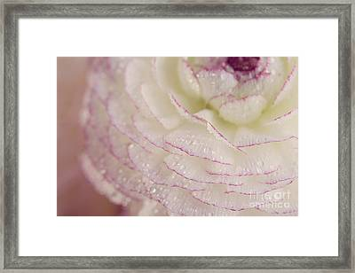 Buttercup Flower With Dew Framed Print by Nailia Schwarz