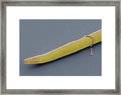 C. Elegans Worm Framed Print by Steve Gschmeissner