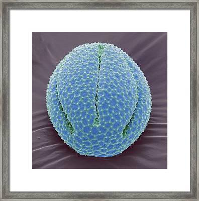 Californiain Poppy Pollen Grain Framed Print by Steve Gschmeissner