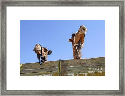 Camels At The Ashgabat Sunday Market In Turkmenistan Framed Print by Robert Preston