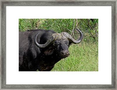 Cape Buffalo Framed Print by Tony Murtagh