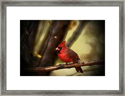 Cardinal Pose Framed Print by Karol Livote