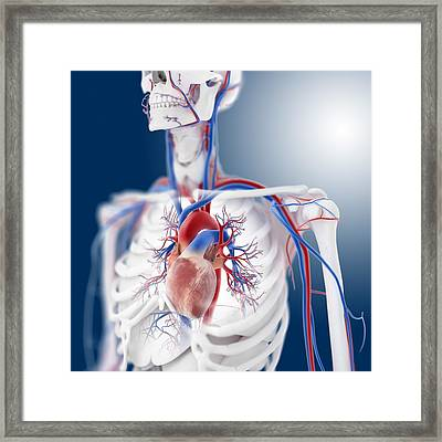 Cardiovascular System, Artwork Framed Print by Science Photo Library