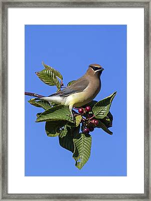 Cedar Waxwing Framed Print by Angie Vogel