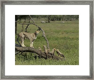 Cheetah  Acinonyx Jubatus Framed Print by Carol Gregory