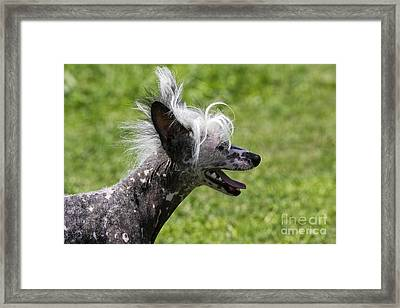 Chinese Crested Dog Framed Print by M. Watson