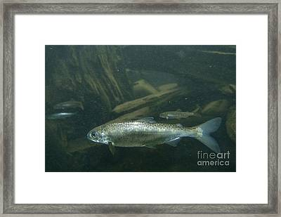Chinook Salmon Smolt Framed Print by William H. Mullins