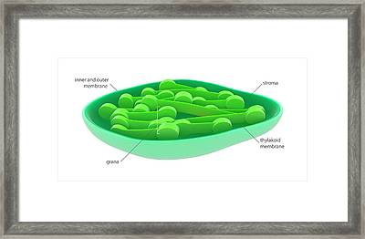 Chloroplast Framed Print by Science Photo Library