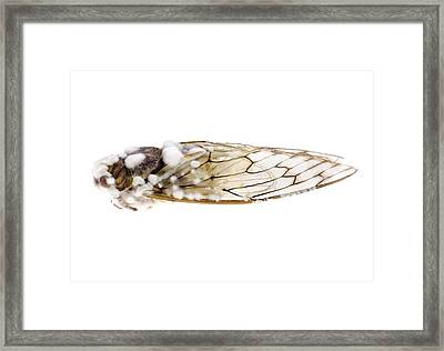 Cicada Infected With Fungus Framed Print by Science Photo Library
