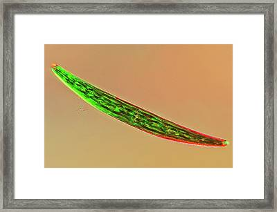 Closterium Desmid Framed Print by Marek Mis