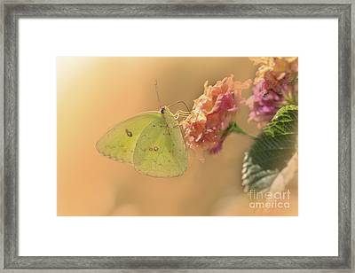 Clouded Sulphur Butterfly Framed Print by Betty LaRue
