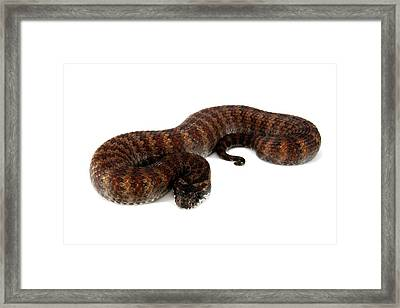 Common Death Adder Framed Print by Gerry Pearce