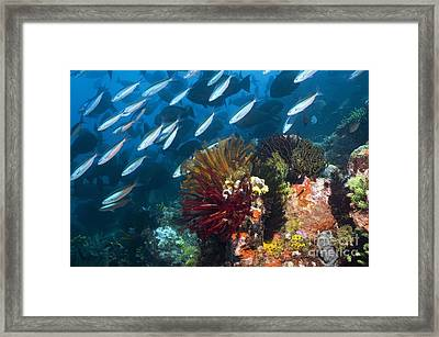 Coral Reef, Indonesia Framed Print by Georgette Douwma
