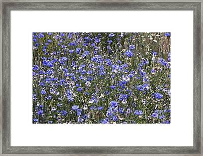 Cornflowers Centaurea Cyanus Framed Print by Bob Gibbons