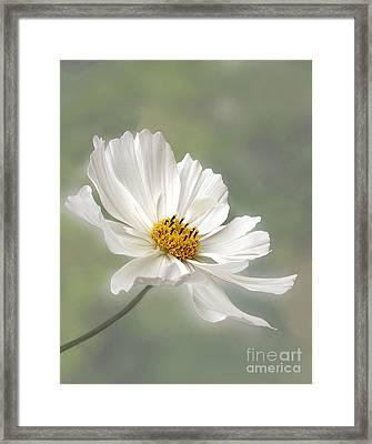 Cosmos Flower In White Framed Print by Kaye Menner