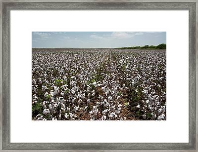 Cotton Plants Framed Print by Jim West