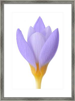 Crocus Framed Print by Mark Johnson