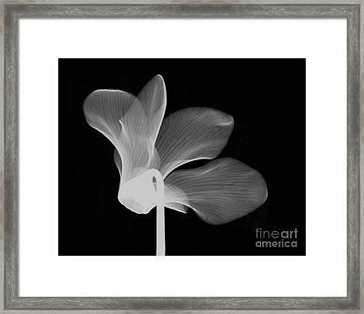 Cyclamen Flower X-ray Framed Print by Bert Myers