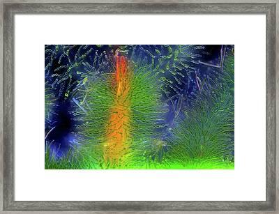 Diatoms On Red Algae Framed Print by Marek Mis