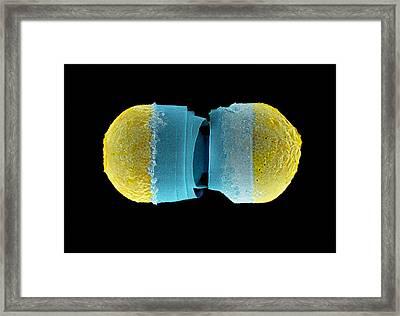 Diatoms, Sem Framed Print by Science Photo Library