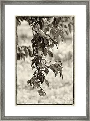 Donut Peaches Framed Print by Iris Richardson