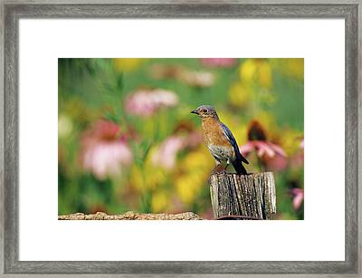 Eastern Bluebird (sialia Sialis Framed Print by Richard and Susan Day