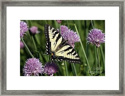 Eastern Tiger Swallowtail Framed Print by Cindi Ressler