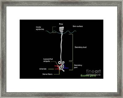 Eccrine Sweat Gland, Artwork Framed Print by Francis Leroy, Biocosmos