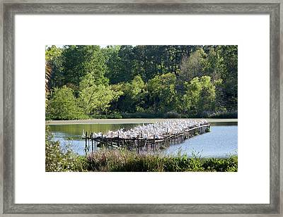 Egrets Nesting Framed Print by Jim West