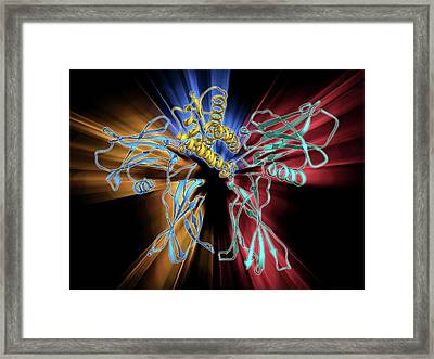 Erythropoietin Bound To Receptors Framed Print by Laguna Design