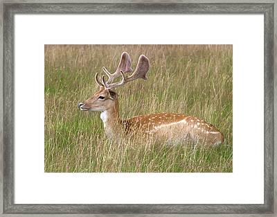 Fallow Deer Buck Framed Print by Nigel Downer