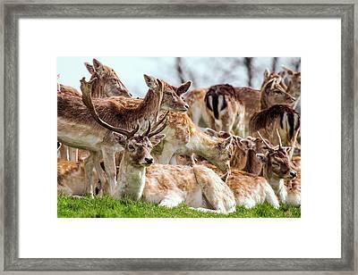 Fallow Deer Framed Print by Paul Williams