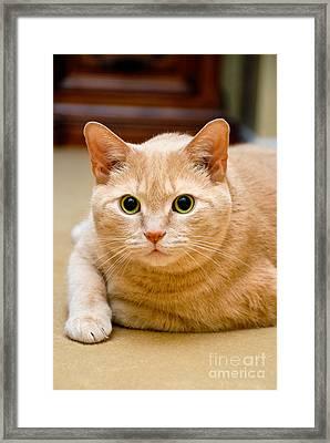 Feline Portrait Framed Print by Amy Cicconi