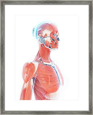 Female Muscular System Framed Print by Sebastian Kaulitzki