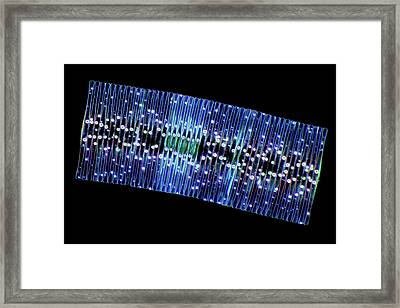 Fragilaria Diatoms Framed Print by Marek Mis