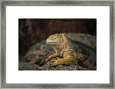 Galapagos Land Iguana (conolophus Framed Print by Pete Oxford
