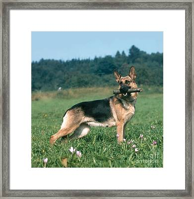 German Shepherd Framed Print by Hans Reinhard