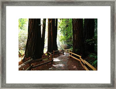 Giant Redwoods Framed Print by Aidan Moran