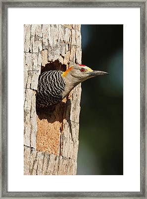 Golden-fronted Woodpecker (melanerpes Framed Print by Larry Ditto