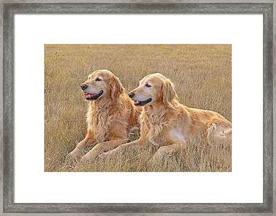 Golden Retrievers In Golden Field Framed Print by Jennie Marie Schell