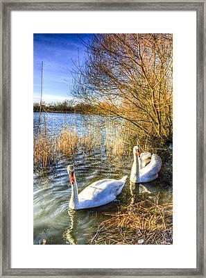 Graceful Swans Framed Print by David Pyatt
